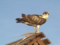Eagle och lås Royaltyfria Bilder