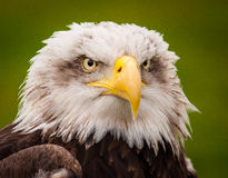Eagle oczy Fotografia Royalty Free