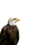 Eagle - odosobniony zdjęcia stock