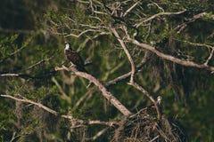 Eagle odpoczywa na gałąź zdjęcie royalty free