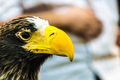Eagle-ogen in Thailand Stock Fotografie