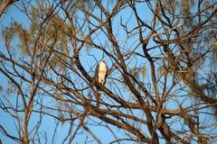 Eagle ogląda obrazy royalty free
