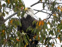 Eagle oka ostrzeżenie po lądować w drzewie i dopatrywanie zdjęcia stock