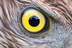 Eagle oka zakończenie, makro- fotografia, oko jastrząb fotografia royalty free