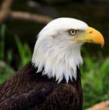 Eagle oko zdjęcie royalty free