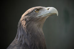 Eagle oko Zdjęcie Stock