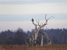Eagle in old tree. Eagle bird in old tree in swamp, Lithuania Royalty Free Stock Images
