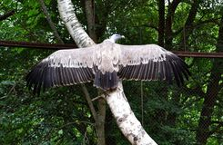 Free Eagle On A Tree, Spread Its Wings. Stock Image - 163986161