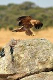 Eagle op de rots met een konijn Royalty-vrije Stock Foto