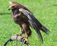 Eagle op een schraag tijdens een demonstratie van vogels van PR wordt neergestreken dat Royalty-vrije Stock Afbeelding