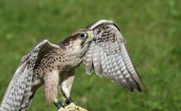 Eagle op een schraag tijdens een demonstratie van vogels van PR wordt neergestreken dat Stock Foto