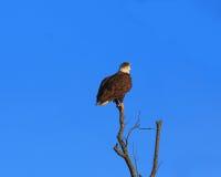 Eagle op een toppositie Royalty-vrije Stock Foto