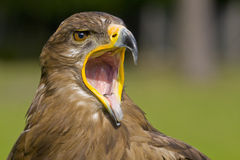 Eagle with open beak. Portrait of an eagle with open beak Stock Photos