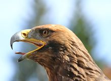 Eagle with open beak and tongue out Stock Image