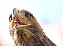 Eagle with open beak and tongue out Royalty Free Stock Image