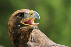 Eagle with open beak and tongue out Royalty Free Stock Photography