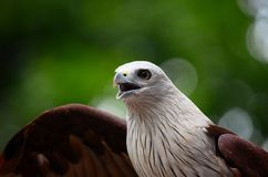 Eagle with open beak and wings Royalty Free Stock Images