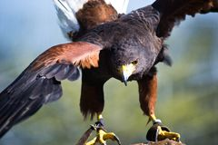Eagle with open wings Royalty Free Stock Photo