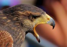 Eagle otwiera jęk Fotografia Royalty Free