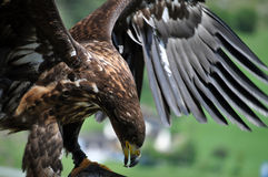 Eagle with outspread wings. Brown Eagle with outspread wings. Photo taken during a flight show Royalty Free Stock Photos