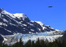 Eagle Over Davidson Glacier Stock Image