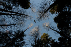 Eagle over het bos Stock Foto