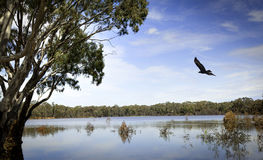 Eagle over Lake Stock Photo