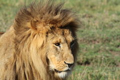 Lion King of Africa. This is a photograph of The King Of The Jungle A Male Lion in Kenya Stock Photo
