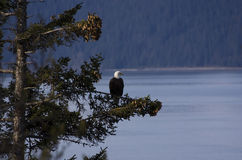 Eagle over Water Royalty Free Stock Images