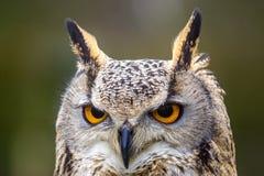 Eagle Owl ögon och näbb royaltyfri bild