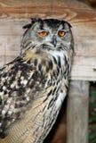 Eagle Owl. Sitting on a perch Stock Photos