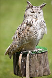 Eagle owl. Image of a bird of prey over a natural background royalty free stock image