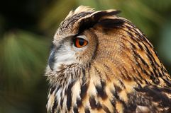 Eagle owl. royalty free stock photo