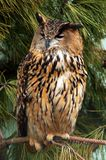 Eagle owl. An eagle owl, oehoe, an almost extinct bird species in belgium Stock Photography