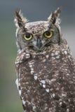 Eagle owl Royalty Free Stock Image