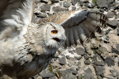 Eagle owl. Before taking off Royalty Free Stock Photos