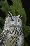 Eagle owl. In its huntig place Stock Photos