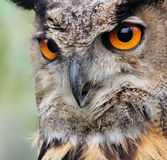 Eagle owl. Scowl look of an Eagle owl, decreasing bird species in Europe Royalty Free Stock Images