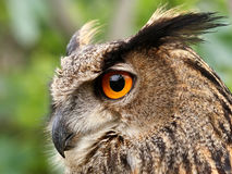 Eagle owl. Profile of an Eagle owl (Bubo bubo), decreasing bird species in Europe royalty free stock photography