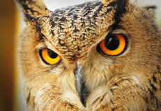 Eagle Owl. An Eagle Owl with wide open orange eyes Royalty Free Stock Photos