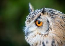 Eagle Owl Royalty Free Stock Image