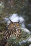 Eagle owl. A Eurasian Eagle Owl in a pine tree with snow Royalty Free Stock Photography