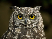 Eagle owl. Seen in my garden royalty free stock image