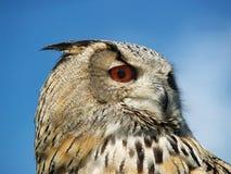 Eagle owl. At raptor centre, uk Stock Images