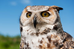 Eagle owl Royalty Free Stock Photography