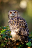 An eagle owl. Sitting in a forest on a log Royalty Free Stock Photography