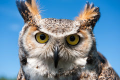 Eagle-owl Stock Images