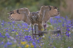 Eagle owl. A captive European eagle owl with wings open on an old gate in a flower filled meadow stock photos