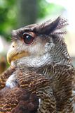Eagle-owl Royalty Free Stock Images