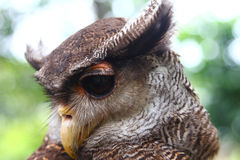Eagle-owl Royalty Free Stock Photography